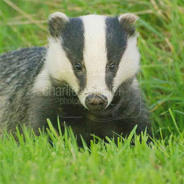 Curious Badger greeting card