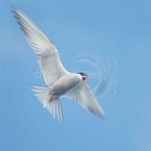 Common Tern Calling - greeting card