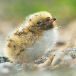 Common Tern Chick - greeting card