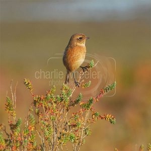 Female Stonechat - greetings card