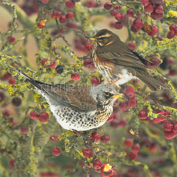 Fieldfare and Redwing - greetings card