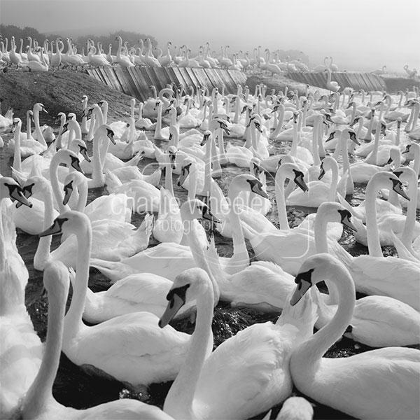 Mute Swan Herd in the Mist - greetings card