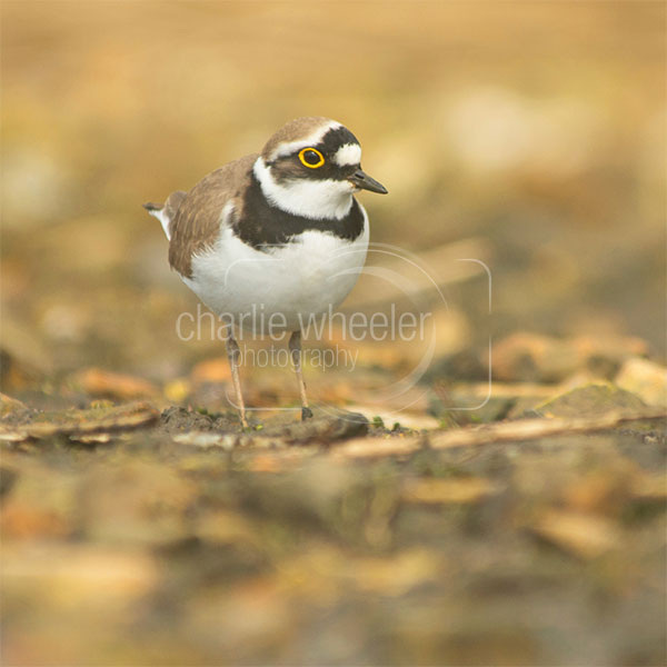 Little Ringed Plover - greetings card