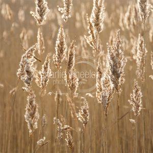 Reed at Dawn - greetings card