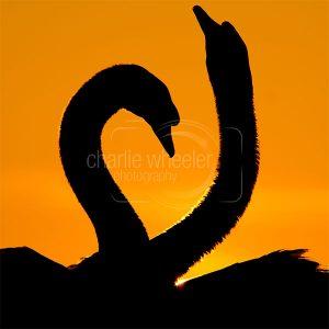 Mute Swan Courtship - greetings card