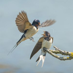 Fighting Swallows - greetings card