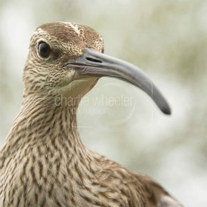 Whimbrel - greetings card