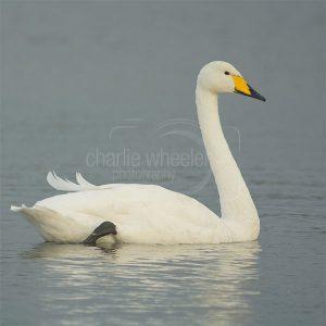 Whooper Swan - greetings card