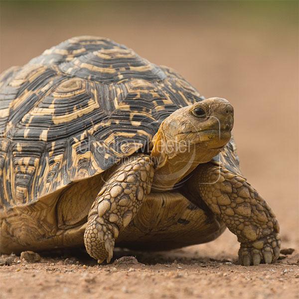 Leopard Tortoise - greetings card