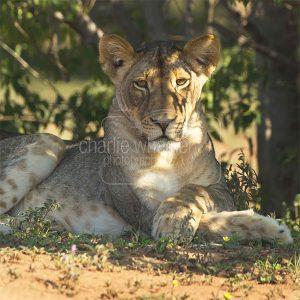 Lion Cub - greetings card