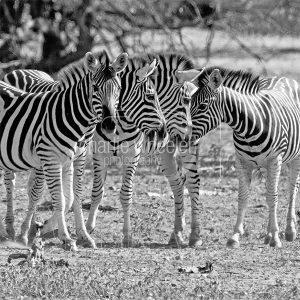 Zebra Herd - greetings card