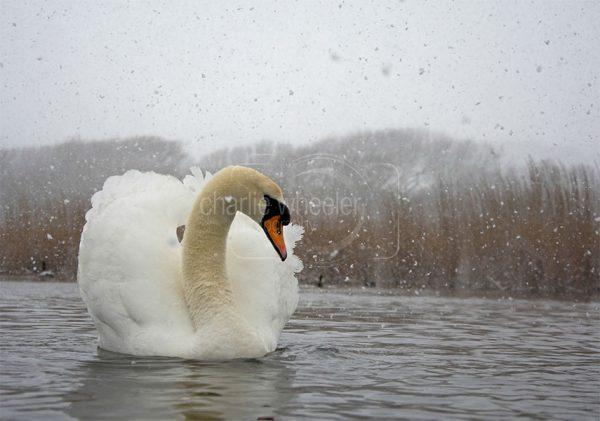 Mute Swan in the Snow - greetings card