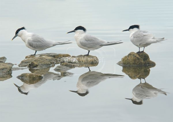 Sandwich Tern Reflection - greetings card