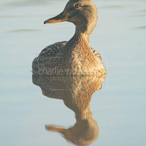 Female Mallard Duck Reflection - greetings card