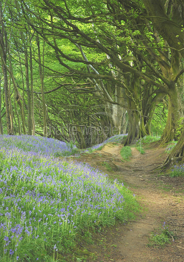 Bluebell Walkway, Lewesdon Hill