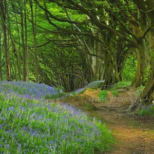 Bluebell Walkway