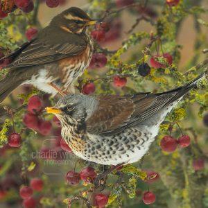 Fieldfare and Redwing