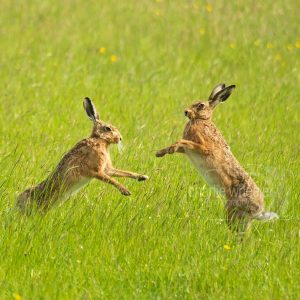 Boxin Hares