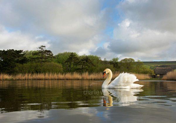 Cob on Decoy Pond