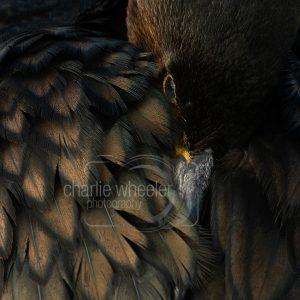 Cormorant Resting Close Up